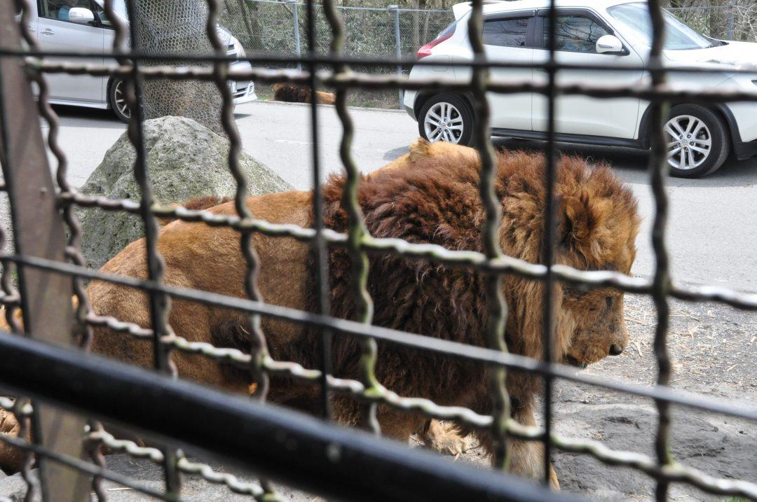 fujisafari-lion