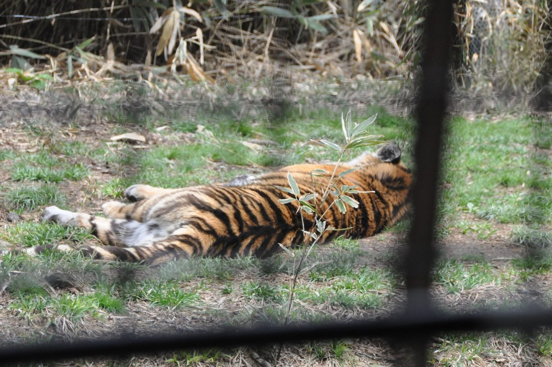 fujisafari-tiger