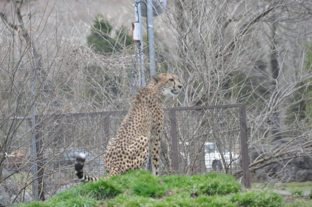 fujisafari-cheetah