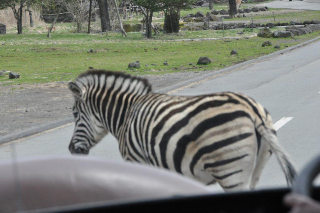 fujisafari-zebra