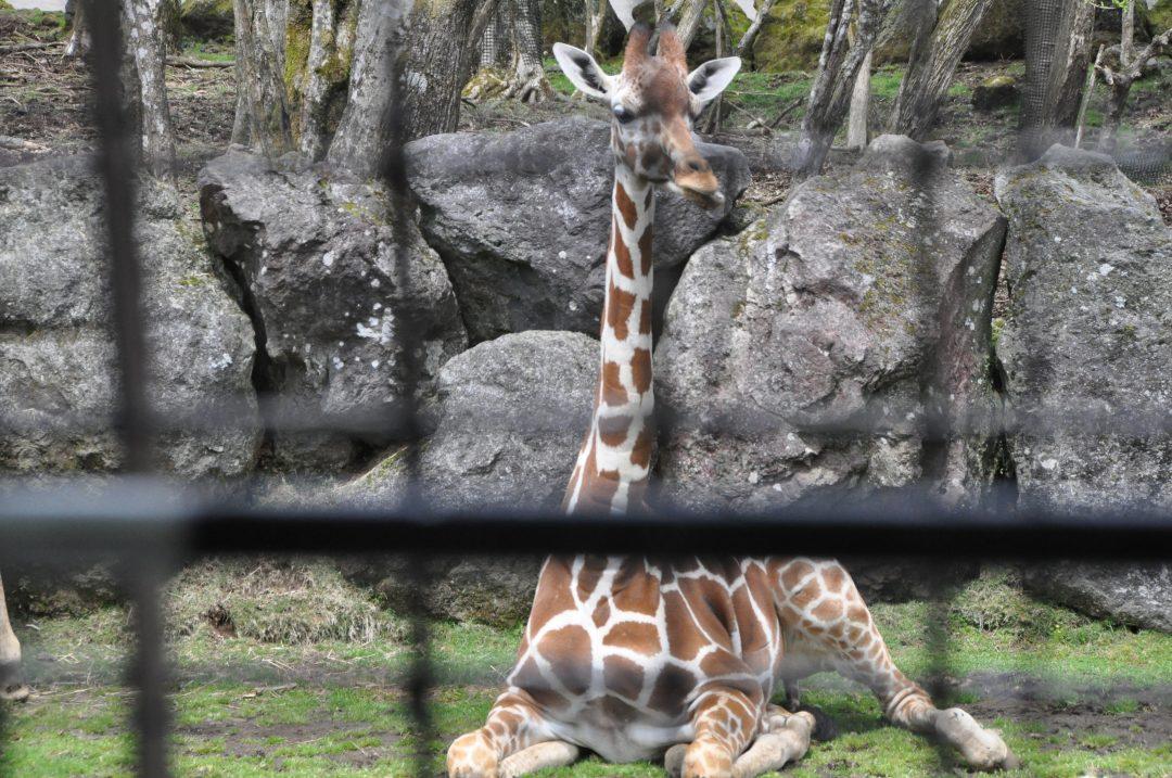 fujisafari-giraffe