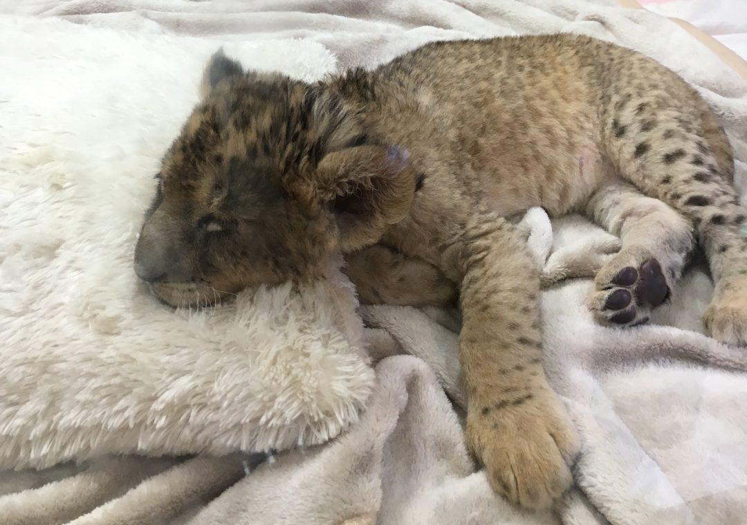 image-lionbaby